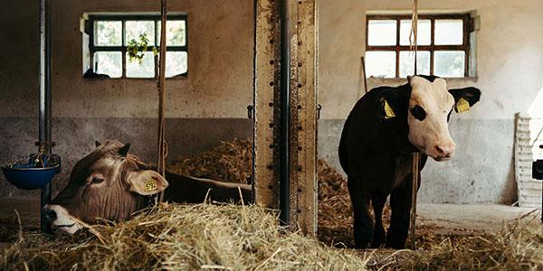 ri-adottiamo-una-mucca